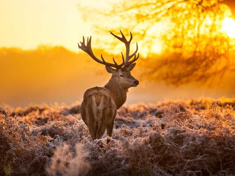 deer-frost-grass-sunset-nature