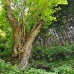 【パワースポット】さまざまなご利益がある古木の大杉【岐阜県,郡上市,石徹白の大杉】