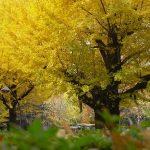 【パワースポット】博士が首を賭けてでも守りたかったイチョウの木【東京都,千代田区,首かけイチョウの木】