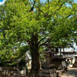 【パワースポット】長野県に恋愛成就の夫婦の木があります!!!【長野県,上田市,愛染かつらの木】