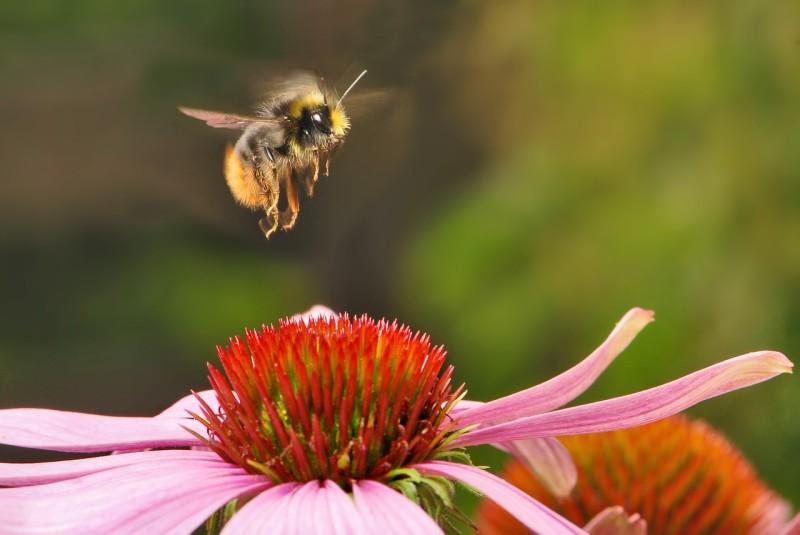bumblebee-538595_1280