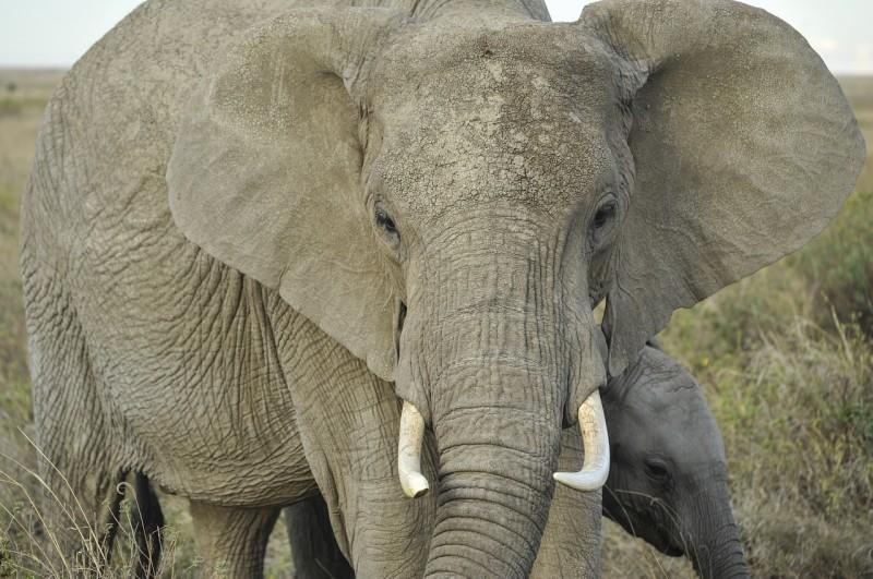 elephant-805389_1280