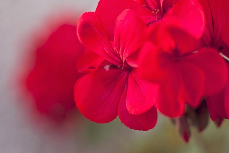 geraniums-792099_1280