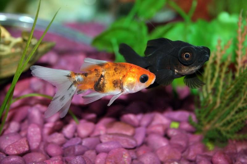 goldfish-672126_1280