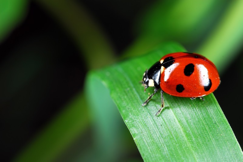 ladybug-973917_1280