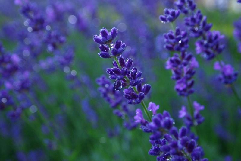 lavender-836563_1280
