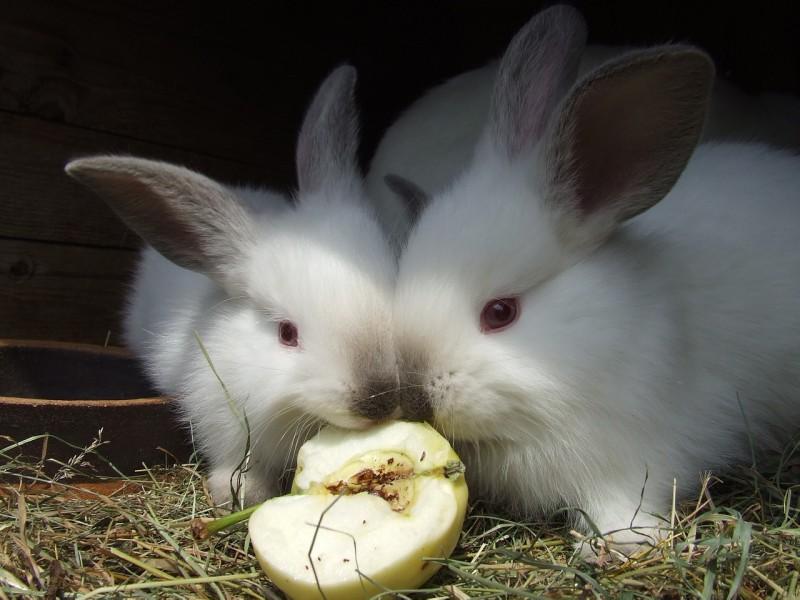 rabbits-1083890_1280