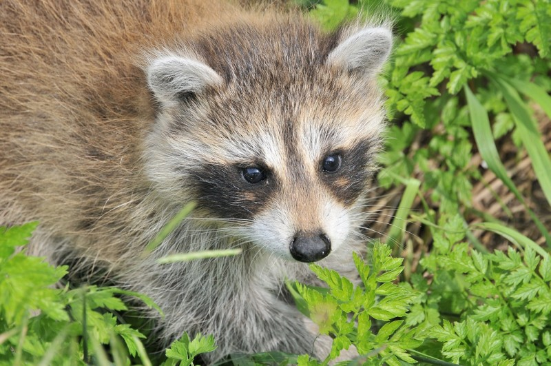 raccoon-1056831_1280