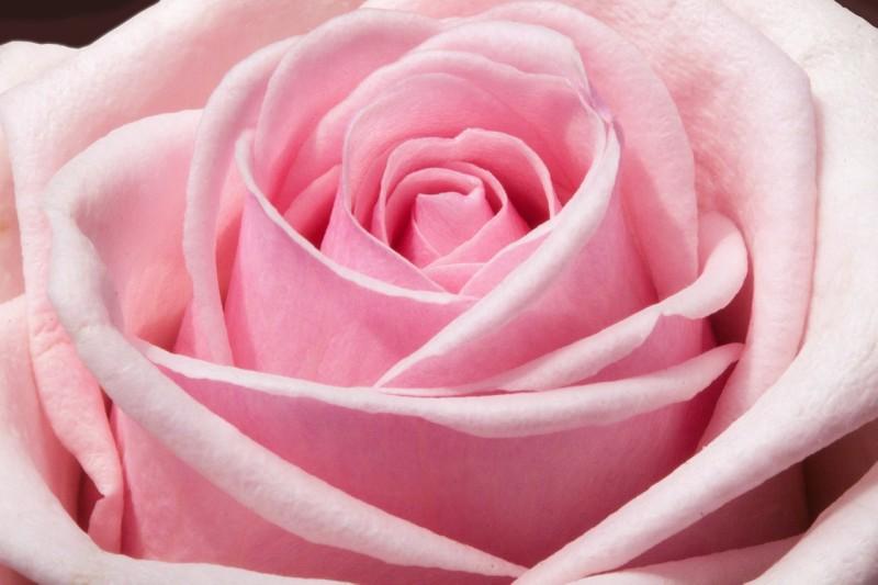 rose-373790_1280