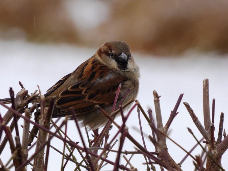 the-sparrow-1087316_1280