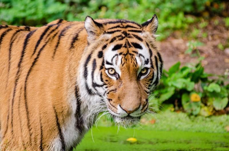 tiger-985649_1280