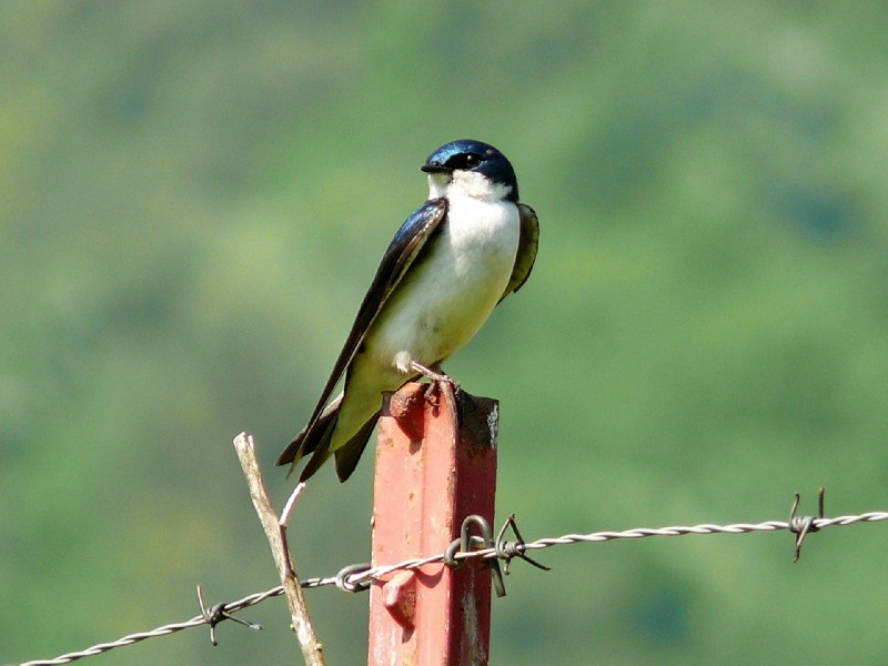 tree-swallow-572791_1280