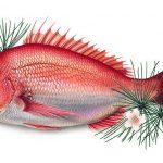 縁起物として知られる「鯛」の開運効果って実際の所どうなの?