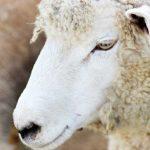 未年の人もそうでない人も、羊のもつ幸運のパワーを学びましょう