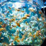 癒され運気もアップする「金魚」を自宅で飼ってみませんか?