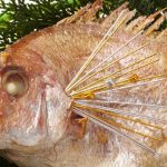【開運グッズ】鯛の鯛(たいのたい)とは一体なに?【縁起物】