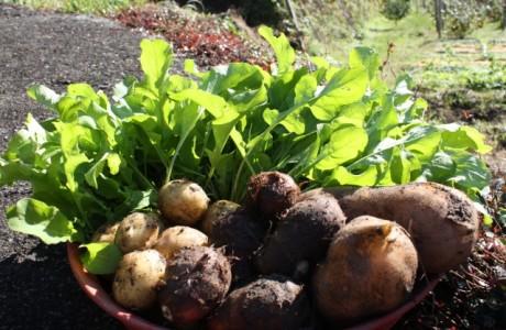 """ジャガイモの""""ベランダ栽培で家庭運を    <h2><span style=""""font-size:17px;"""">野菜作り初心者にもピッタリ</span></h2>  ベランダ菜園セラピストは「ジャガイモ」は大きな鉢がなくても簡単に栽培できる。 野菜作り初心者にもピッタリ。特に鉢の代わりに袋を使えば、価格的にもサイズ的にもいい。 家族で盛り上がる「ジャガイモ」のベランダ栽培、土の袋をそのまま鉢にすればラク! 「日照時間が長くなり、気温も上がってくる春先は初心者も野菜づく。"""