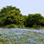 空と花のブルーが美しい!ネモフィラ花畑