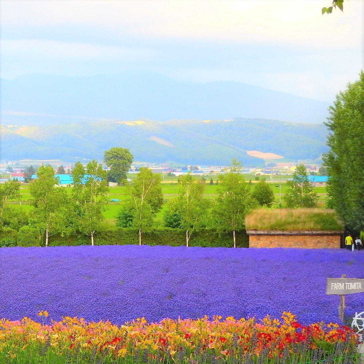 「ファーム富田」レインボー花畑