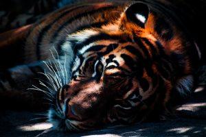 〈金運アップ・守護動物〉知らないと損?!「寅の日」の捉え方と虎の開運力