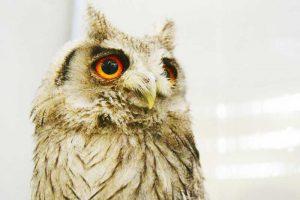 世界中で幸運の鳥と言われる「フクロウ」はなぜ縁起がいいのでしょうか